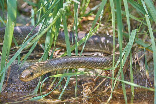Natter, Snake, Grass Snake, Reptile, Close Up, Green