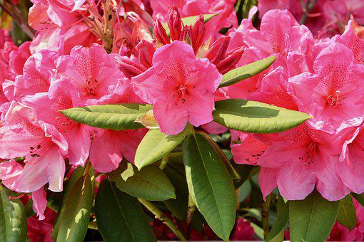 Flowers, Spring Flowers, Rhododendron Pink