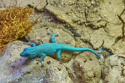 Come, Turquoise, Lizard, Wall, Rock, Hunter, Tongue