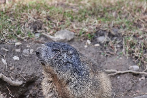 Marmot, Nager, Rodent, Cute, Close, Furry, Animal World