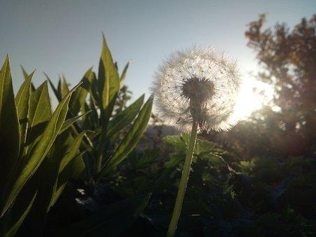 Reiki, Light, Energy, Dandelion, Sun, Spiritual