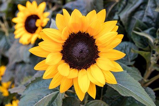 Sun Flower, Flower, Plant, Yellow Flower