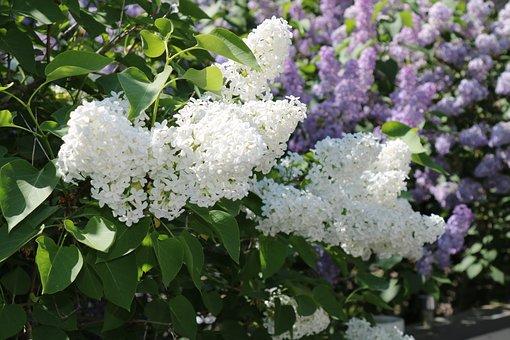 Syren, Bush, Garden, Flower, White, Plant