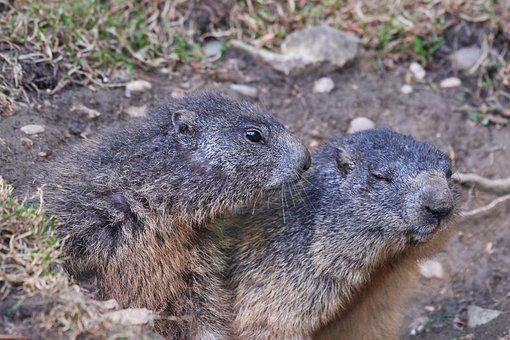 Marmot, Pair, Tender, Nager, Rodent, Cute, Close, Furry