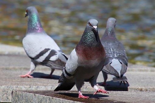 Three, Pigeons, City Pigeon, Birds, Nature, Plumage