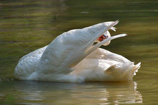 Swan, White, Toilet, Plumage, Pond