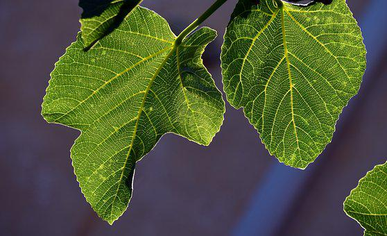 Fig Leaves, Leaves, Back Light, Structure, Close, Tree