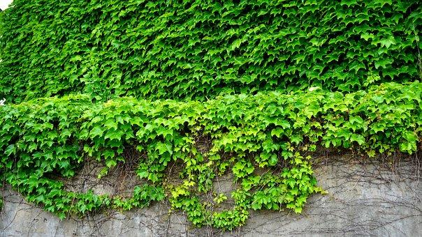 Ivy, The Vine, Leaf, Plants, Stem, Wall, Fence