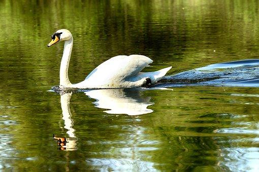 Swan, Lake, Nature, Bird, Wildlife