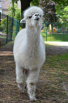 Alpaca, Young Animal, Close, Wool, Mammal, Fluffy