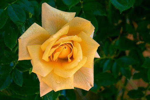 Rose, Yellow, Blossom, Bloom, Yellow Rose, Close