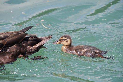 Duck, Young Animal, Female, Water Bird, Bird, Mallard