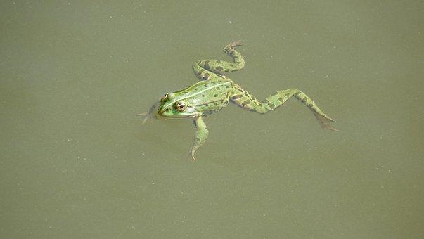 Animal, Green Frog