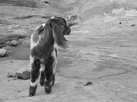 Goat, Petra, Jordan, Desert, Animal, Canyon
