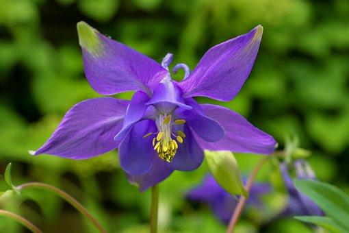 Nature, Plant, Columbine, Aquilegia, Hahnenfußgewächs