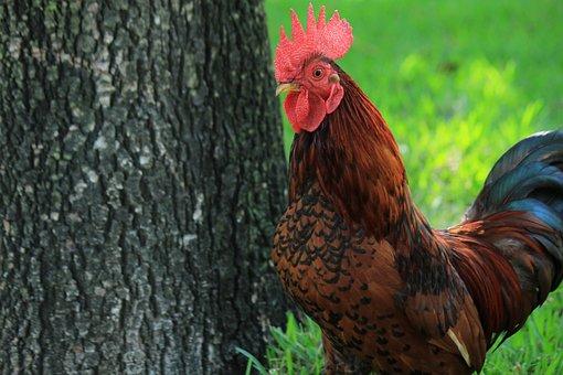Gallo, Hen, Farm, Ave, Chickens, Animal, Crest