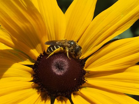 Sunflower, Bee, Insect, Flower, Nature, Summer, Forage