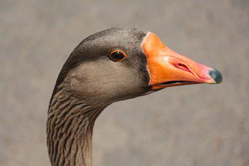 Goose, Head, Close, Bill, Animal Portrait, Eyes, Animal
