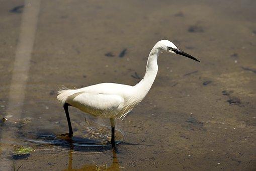 Little Egret, Pond, Bird