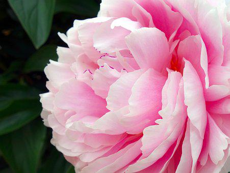 Peony, Blossom, Bloom, Double Flower