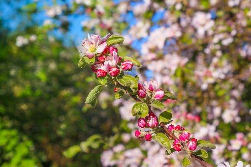 Nature, Plant, Cherry Blossom, Blossom, Bloom, Bloom