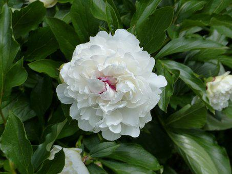 Peony, Flower, Blossom, Bloom, Spring, Nature, Flora