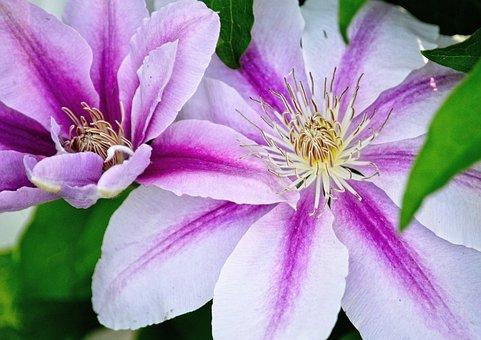 Flower, Clematis, Garden, Blossom, Botanical, Leaf