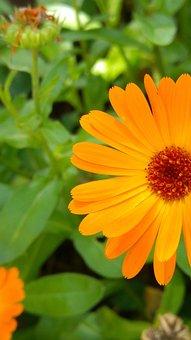 Calendula, Medicinal Herb, Organic