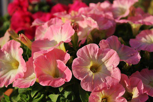 Petunia, Flower, Spring, Growth, Close, Color, Pink