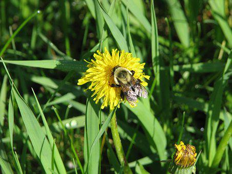 Rusty Patched Bumblebee, Bombus Affinis, Endangered