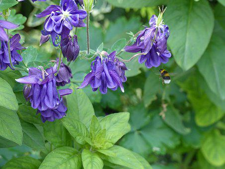Columbine, Flower, Hummel, Blossom, Bloom, Flora, Plant
