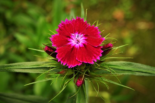 Flower, Carnation