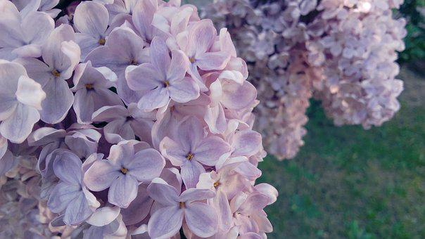 Without, Lilac, May, Flowering, Violet, Spring, Lila