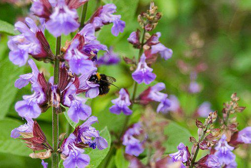 Hummel, Insect, Blossom, Bloom, Nature, Garden, Plant