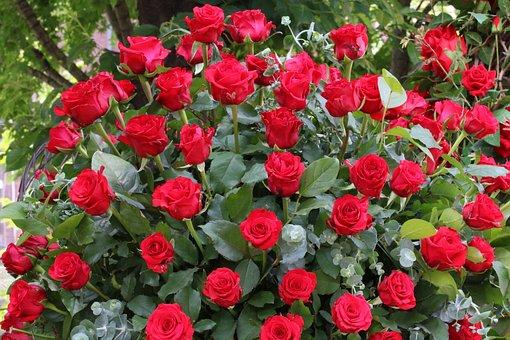 Rose, Rose Festival, Nature, Flowers, Garden