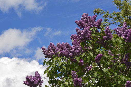 Lilac, Sky, Magenta, Spring, Flower, Garden, Floral