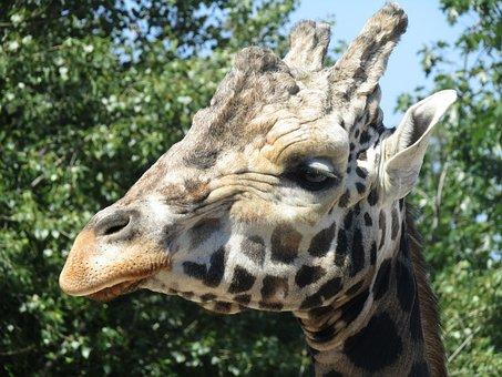 Giraffe, Head, Zoo, Africa, The Prague Zoo, Fauna