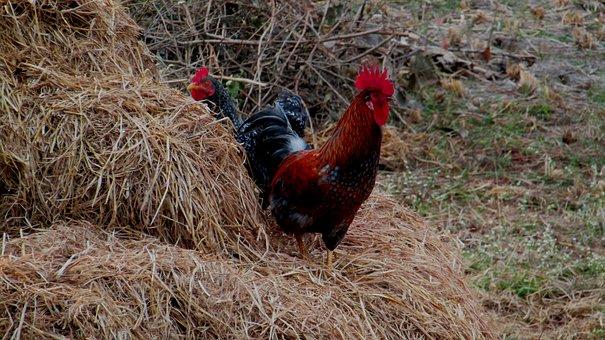Hen, Haystack, Rooster, Chicken, Farm, Poultry, Bird