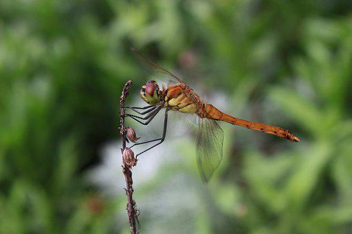Dragonfly, Insects, Nature, Close, Affix, Wild, Biology