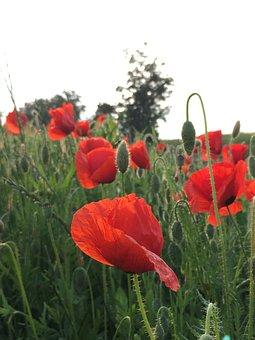 Klatschmohn, Red Poppy, Red, Poppy Flower, Blossom