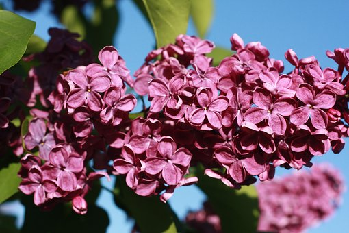 Lilac, Flowers, Lilac Flowers, Bloom, May, Nature