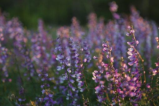 Clover, Flower, Nature