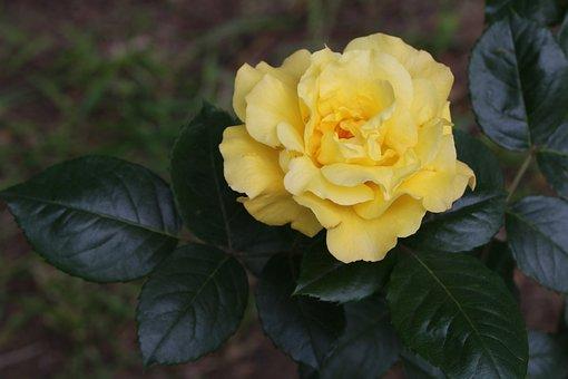Rose, Rose Festival, Garden, Nature, Flowers