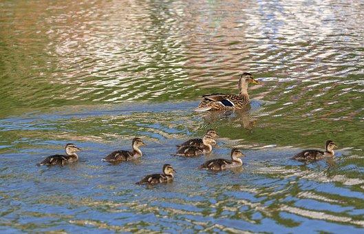 Duck, Snipes, Duckling, Wild Ducks, Nature, Water, Bird