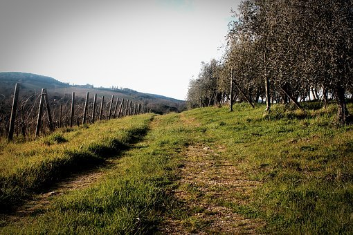 Outdoor, Landscape, Vineyard, Olives, Olive Tree, Grove