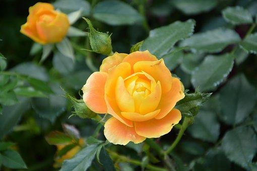 Flower, Pink Flowers, Rosebush, Bud, Pink, Orange Color