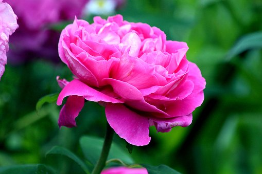 Peony, Flower, Bloom, Pink Peony, Garden, Plant