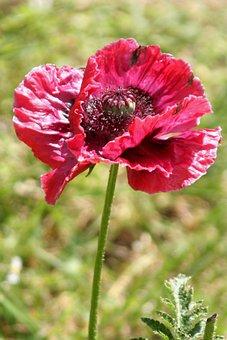 Flower, Poppy, Spring, Garden, Nature, Petals, Botany
