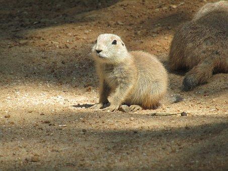 Prairie Dogs, Zoo, Cub, Mammal