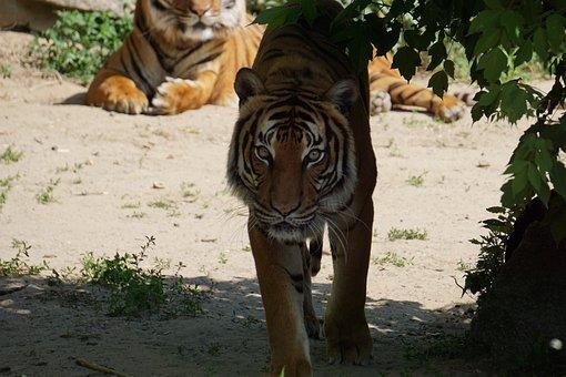 Sumatran Tiger, Mammal, Zoo, Tiger, Predator, Dangerous